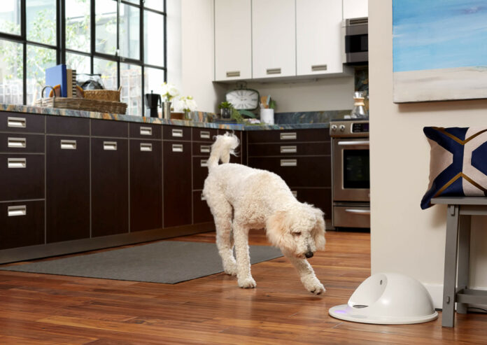 Poodle runs to CleverPet interactive dog toy