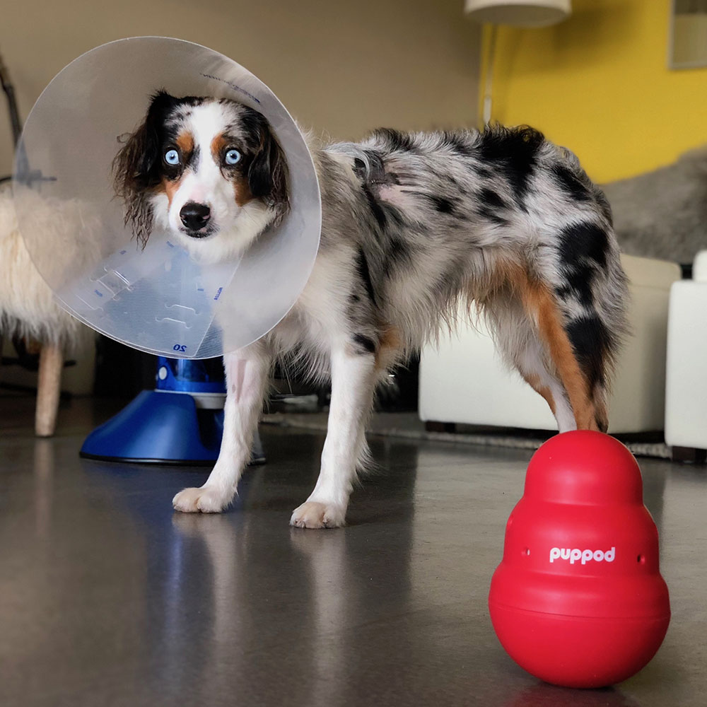 Injured dog plays with PupPod smart dog game