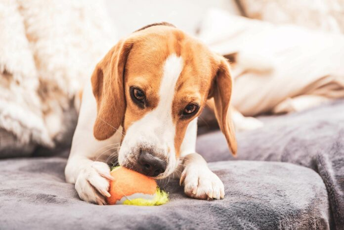 Dog playing with ball on couch