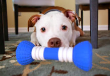 Pit Bull with GoBone smart dog bone toy