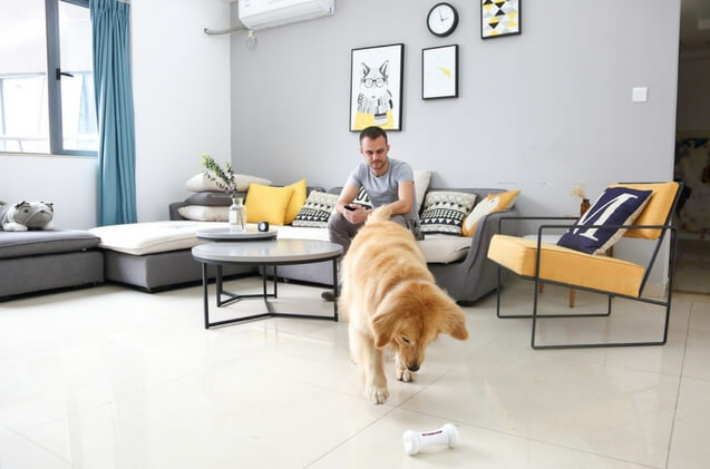 Dog plays in living room with Wickedbone smart dog bone toy