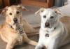 Scout and Ripley labrador retrievers