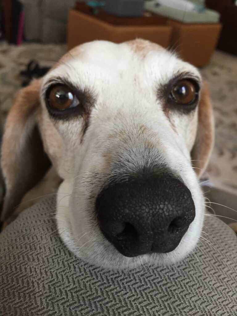 Cute beagle is a food thief!